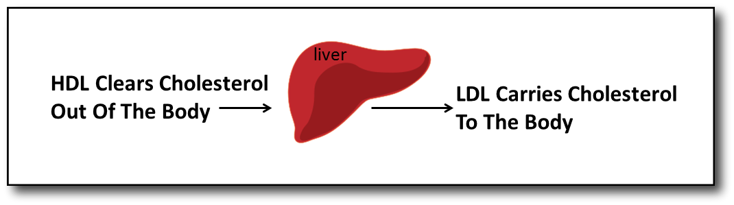Understanding Cholesterol HDL & LDL